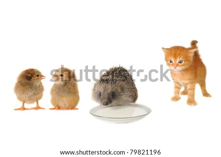 Red cat and hedgehog chicken  isolated on a white background - stock photo