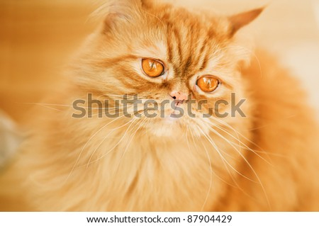 Red cat breed Selkirk rex. - stock photo