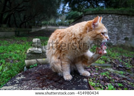 RED CAT CLEANING HIS FEET - stock photo