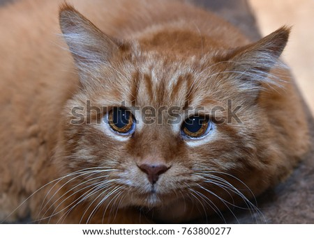 Red cat close-up