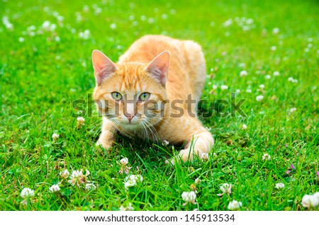 Red cat creeping in green grass hunting
