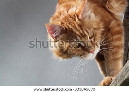 Red cat domestic cat, predator - stock photo