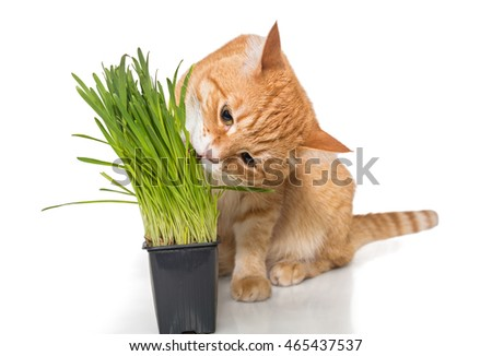 Red cat eats green grass, isolated on white