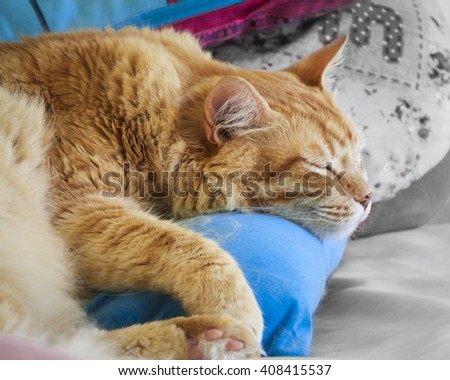Red cat I am sleeping with closed eyes on the blue pillows