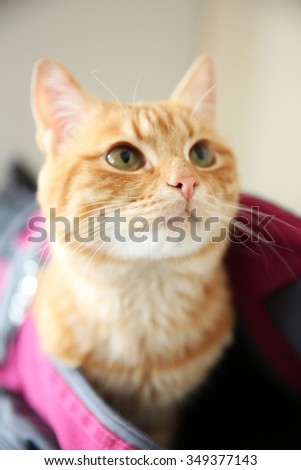 Red cat in sport bag, close up