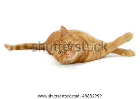 Red cat is resting on a white background looking into the camera - stock photo