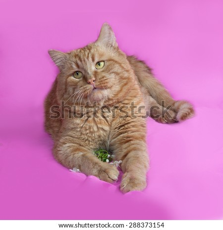 Red cat lays on pink background