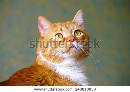 Red cat looking up  - stock photo