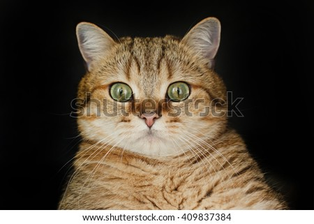 Red cat looking up sitting on black background. Red cat on a black background thick - stock photo