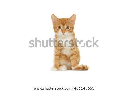 red cat looks at a white background