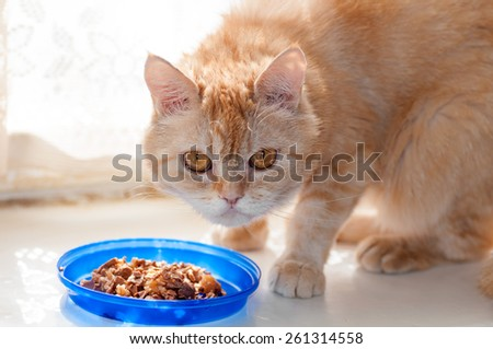 red cat looks carefully near the food bowl - stock photo