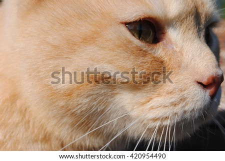 Red cat looks into eternity. Cat's face close up. Philosophical cat eyes. Profile fiery red cat under the bright sun. Spring