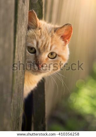 red cat looks out from behind a fence. summer sun Photo pet. Beautiful Red Cat with Yellow Eyes - stock photo