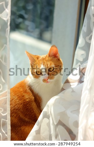 red cat near window and tulle,  - stock photo