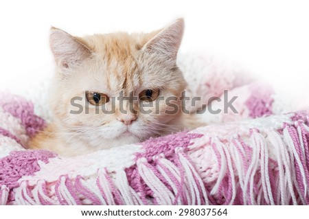red cat on a pink blanket - stock photo