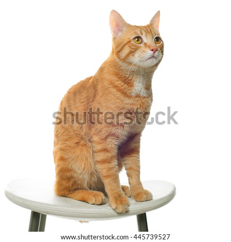 Red cat on a white background sitting on a chair