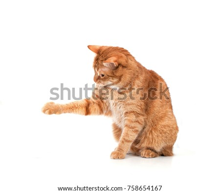 Red cat on a white background with outstretched paw