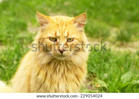 Red cat outdoors portrait