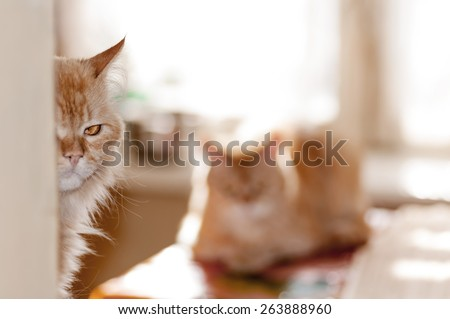 red cat peeks out from behind the corner cautiously - stock photo