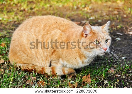 red cat, sand color - stock photo