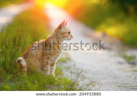 Red cat sitting in profile on the road at sunset - stock photo