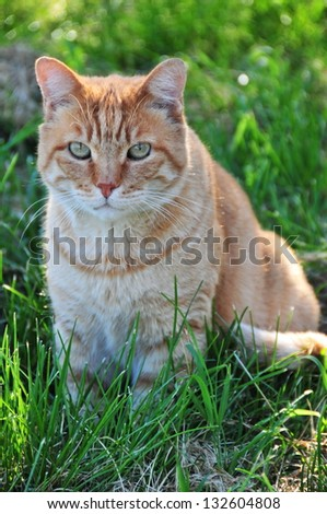 Red cat sitting on green grass