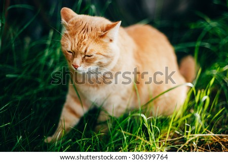 Red Cat Sitting On Green Spring Grass In Garden. Outdoor Summer Sunny Day Portrait - stock photo