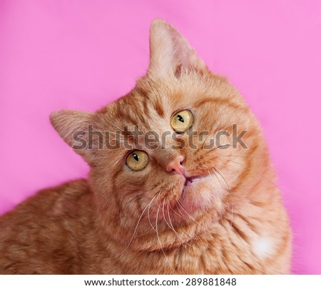 Red cat sitting on pink background