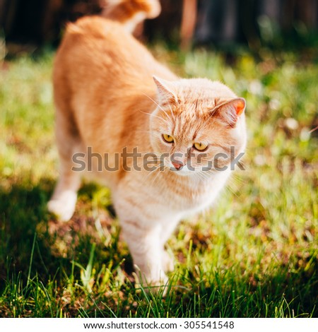 Red Cat Walking In Green Spring Grass In Garden. Outdoor Summer Sunny Day Portrait - stock photo