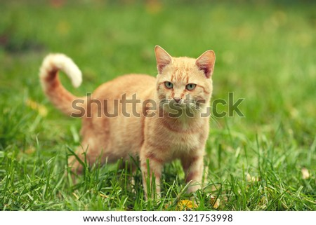 Red cat walking on the grass - stock photo
