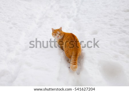 Red cat walks in the snow. Winter. Snow. Frost.