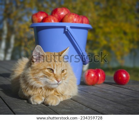 Red cat watchdog on old wooden boards on a background of red apples collected in a bucket autumn - stock photo