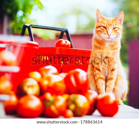 Red Cat With Fresh Tomatoes Harvest In Baskets - stock photo