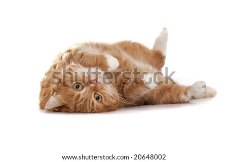 Red cat with orange eyes on a white background - stock photo