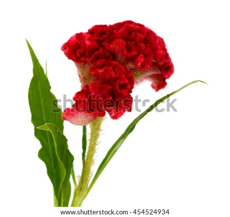 Red Celosia cristata flower isolated on white background