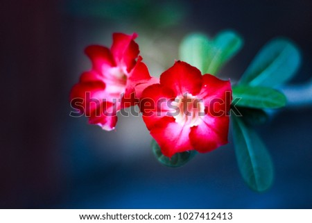 red champa two red champa flowers stock photo royalty free