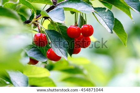 Red cherries on a branch just before harvest