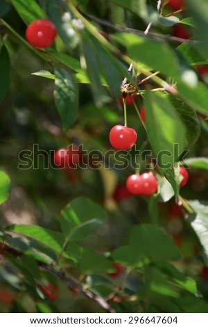 red cherries on the branch - stock photo