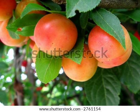 red cherry plum, myrobalan, Prunus cerasifera, background green leaves and tree, - stock photo