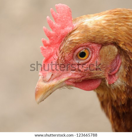 Red Chicken Looking Down - stock photo