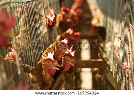 red chickens farm in cell sections - stock photo