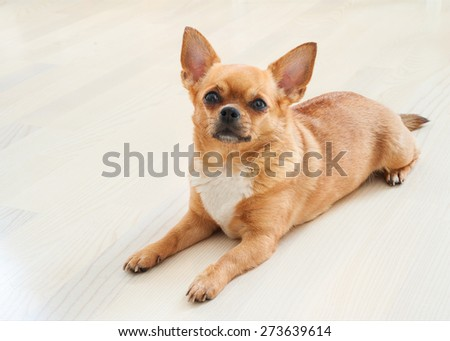 Red chihuahua dog on wooden background. Closeup. - stock photo