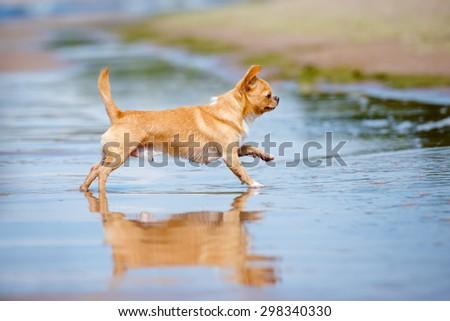 red chihuahua dog running on the beach - stock photo