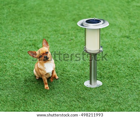 Red chihuahua dog siting on green grass near solar powered lamp.