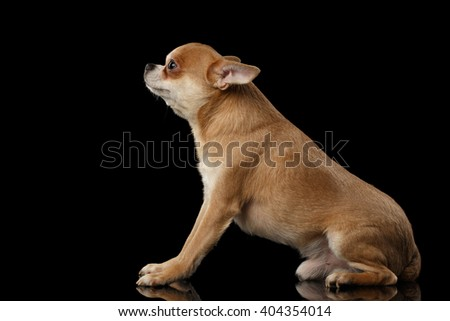 Red Chihuahua dog Sitting on Mirror and Looking up isolated on Black background - stock photo