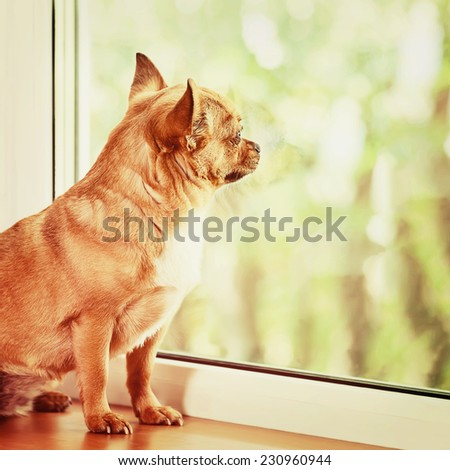 Red Chihuahua Dog Standing on Window Sill and Looks into Distance. With Retro Effect Filter. - stock photo