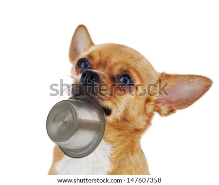 Red chihuahua dog with bowl isolated on white background. Closeup. - stock photo