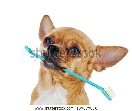 Red chihuahua dog with toothbrush isolated on white background. Closeup. - stock photo
