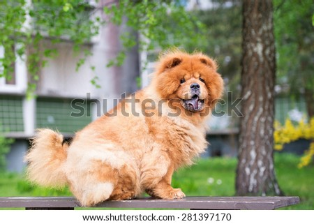 red chow chow dog sitting outdoors