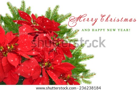 red christmas flower and christmas tree branch on white background  - stock photo